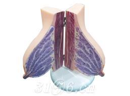 山东三汇 教学模型 乳房模型